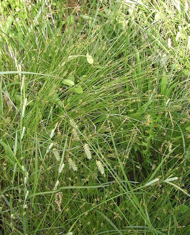ゴウソ-西宮の湿生・水生植物-