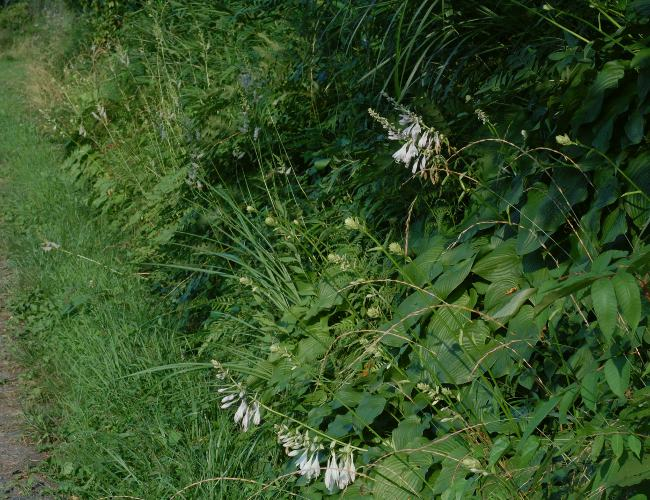 オオバギボウシの画像 p1_38